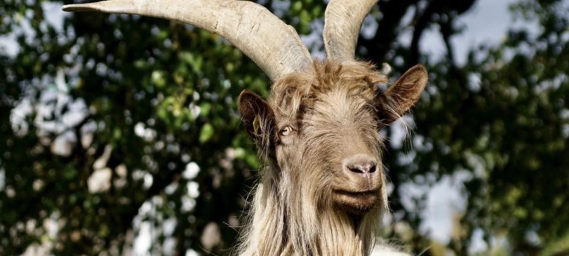 Cabra pare a un animal mitad humano y mitad cerdo