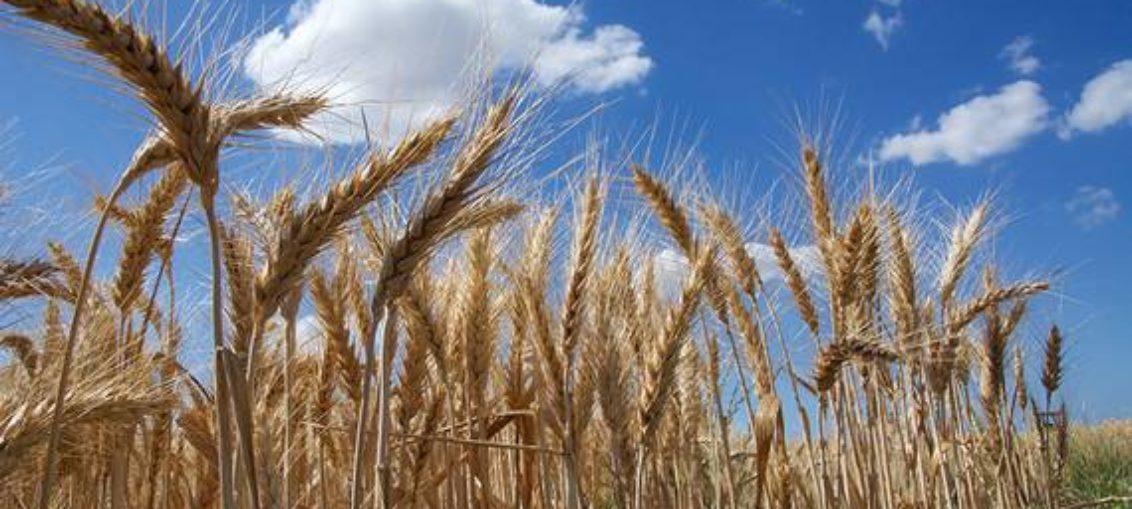 Presentan secuencia más completa del genoma del trigo