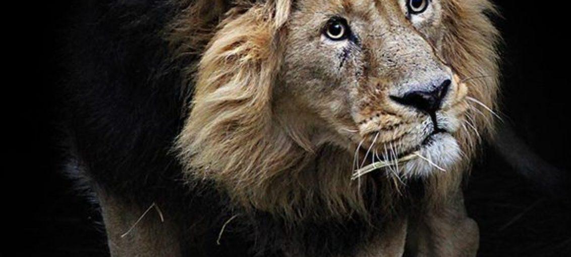 A punto de extinguirse el majestuoso león de Abisinia