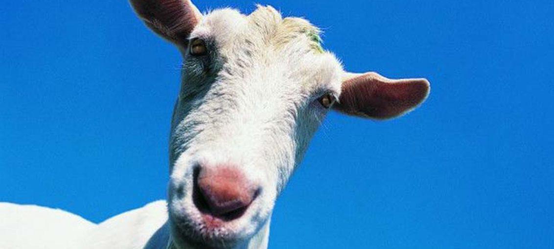 Mejoran calidad nutricional de la leche de cabra