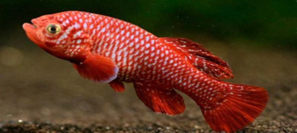 Pez africano, el vertebrado que más rápido madura