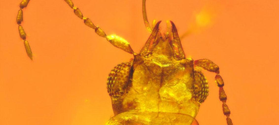 Revelaciones de escarabajo atrapado en ámbar en Jurásico