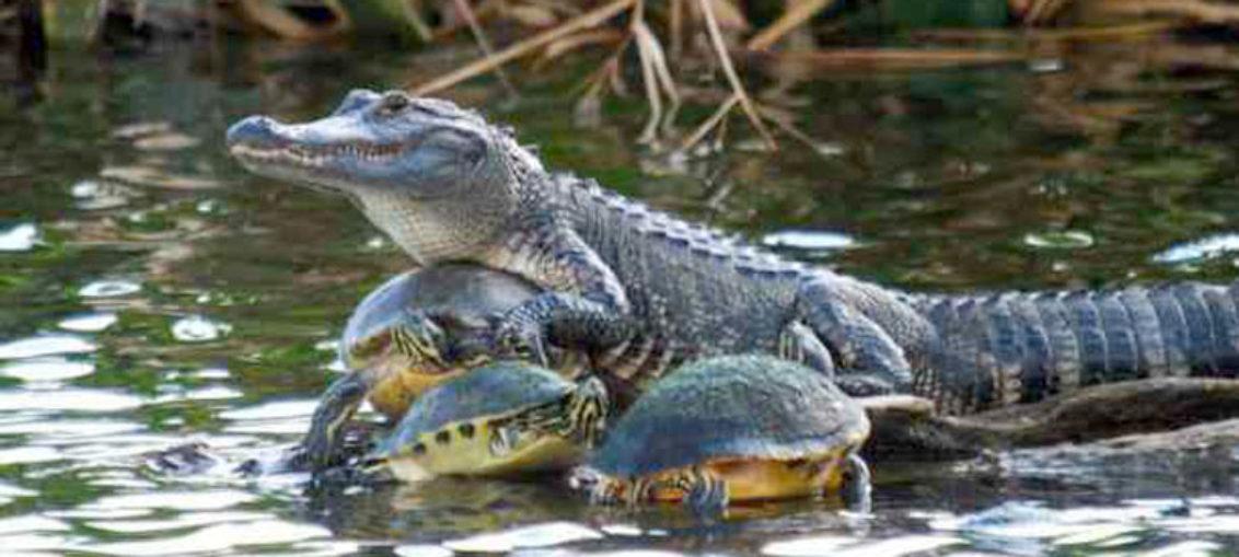 Fotografían cocodrilo recorriendo canal en Cayo Largo, Florida