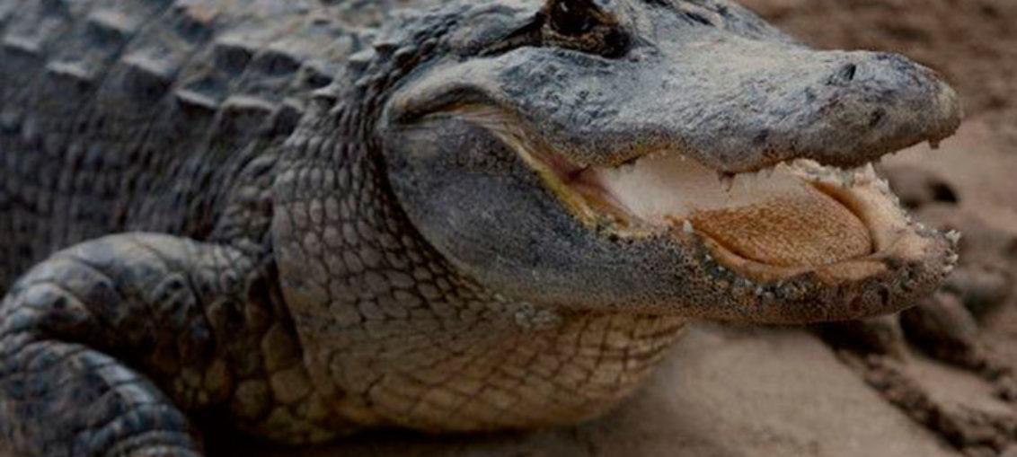 Los ataques de caimanes en la Florida registran un incremento alarmante y han obligado a las autoridades a reforzar la seguridad pública en lagos y canales.