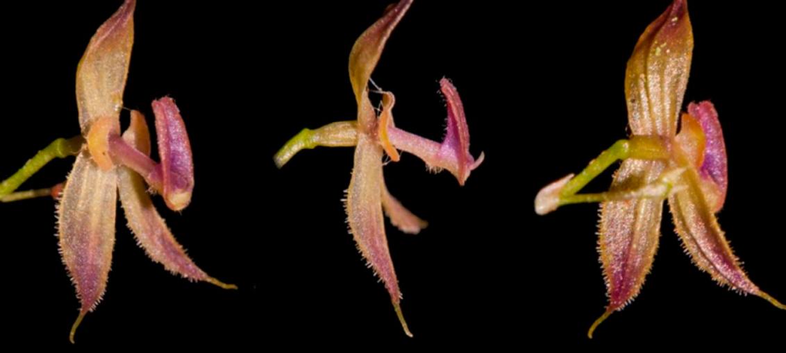Descubren nueva especie de orquídea en Perú