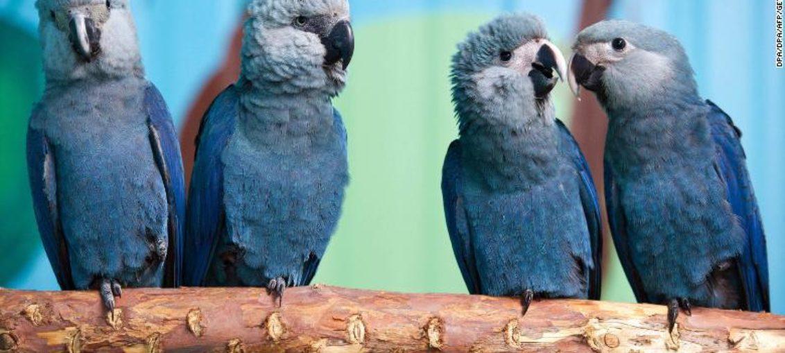 Extinguida de hábitat natural ave que inspiró filme Río