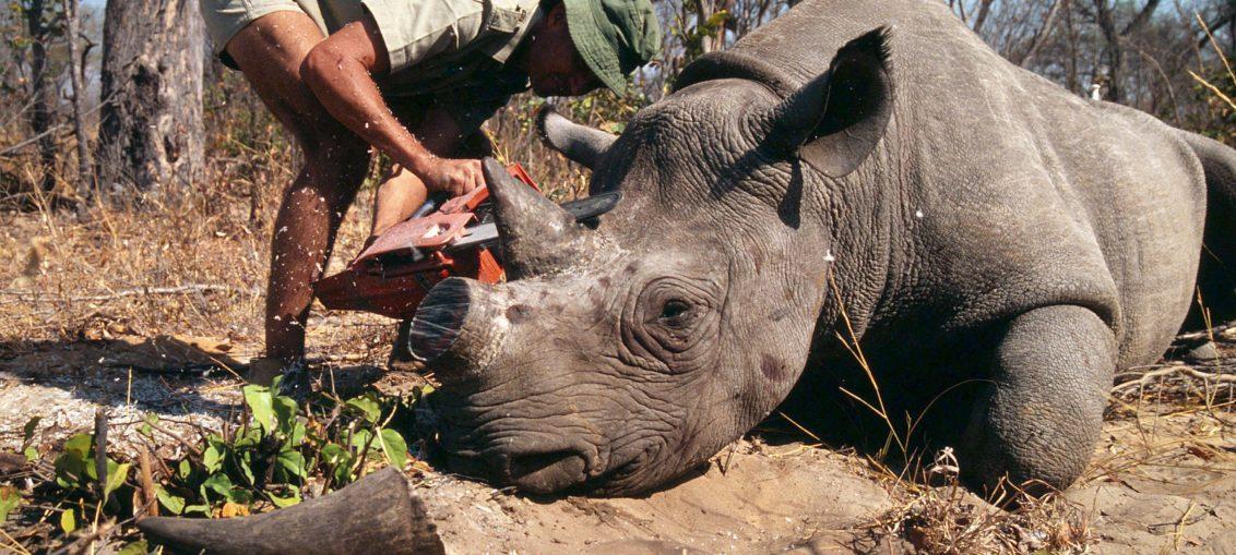 Furtivos matan cientos de rinocerontes en Sudáfrica