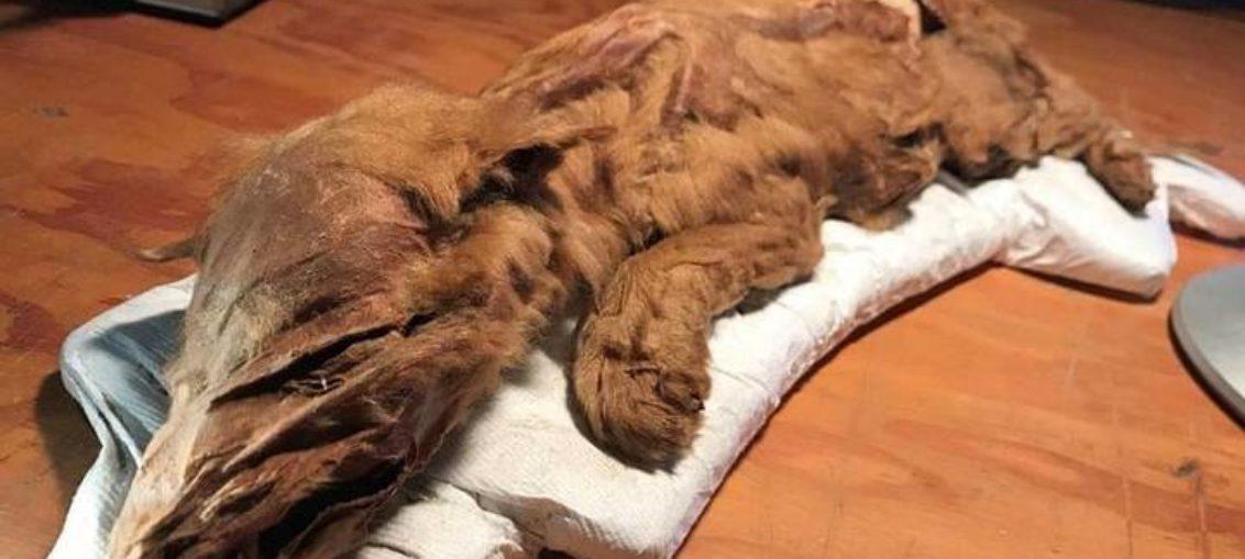 Hallan lobo y caribú momificados por 50.000 años