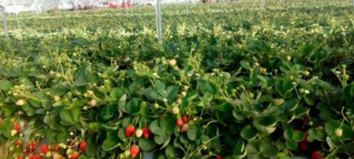 Modelo predice comportamiento del cultivo del olivo