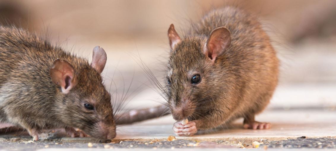 Alerta con las ratas leptospirosis repunta en Florida