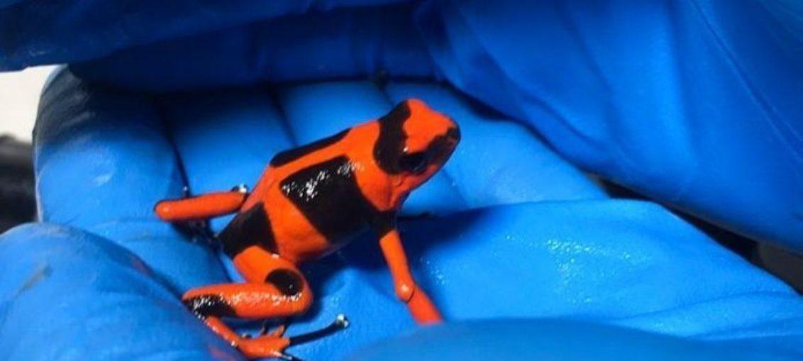 Evitan tráfico de 200 ranas venenosas