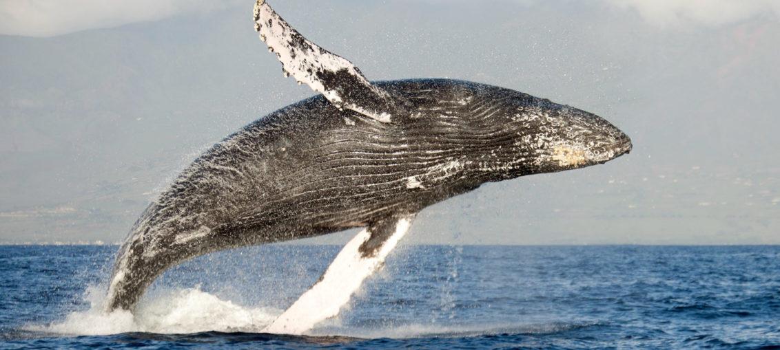 La ballena, primer animal observable desde el espacio